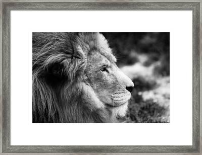 A Portrait Of An African Lion Framed Print