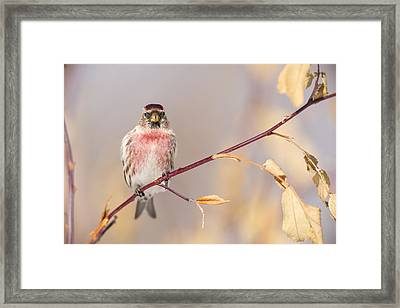 A Pretty Male Redpoll Framed Print by Tim Grams