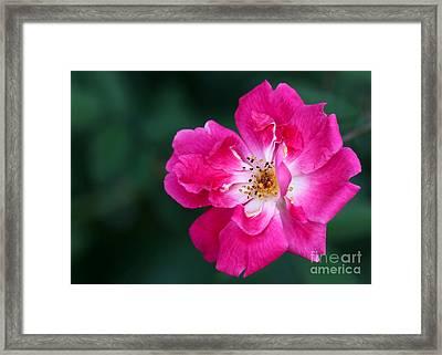A Pretty Pink Rose Framed Print by Sabrina L Ryan