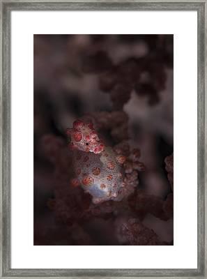 A Pygmy Seahorse Clings Framed Print by Ethan Daniels