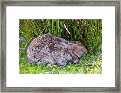 A Rabbit With Myxomatosis Framed Print by Ashley Cooper