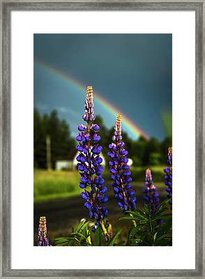 A Rainbow Arcs Over Lupine Blossom Framed Print by Robert L. Potts