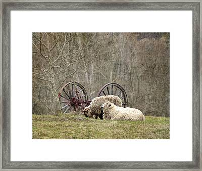 A Ram And Sheep With Attitude  Framed Print
