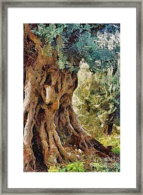 A Really Old Olive Tree Framed Print