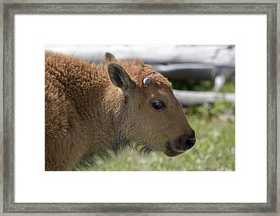 A Red Dog In Yellowstone Framed Print by Bruce Gourley