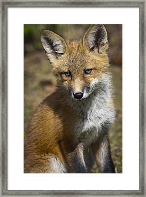 A Red Fox Kit Looks At Camera From Near Framed Print by Doug Lindstrand