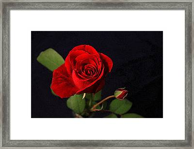 A Red Rose Framed Print by CarolLMiller Photography