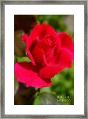 A Red Rose Framed Print by Jay Nodianos