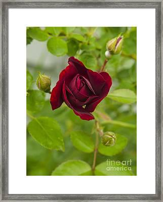A Red Rose Slowly Unfurling Framed Print by Deborah Smolinske