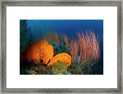 A Red Sea Whip Coral Garden In Kimbe Framed Print