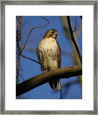 A Red Tail Hawk Framed Print by Raymond Salani III