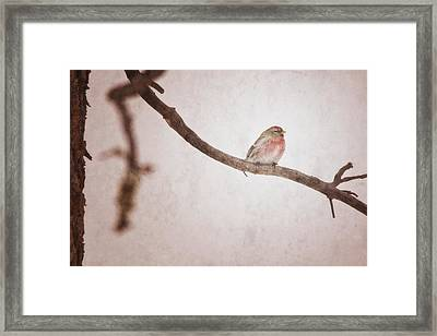 A Redpoll Bird On The Branch Of A Pine Framed Print by Roberta Murray