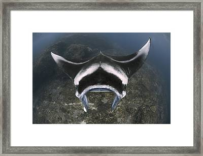 A Reef Manta Ray Swimming Above A Reef Framed Print