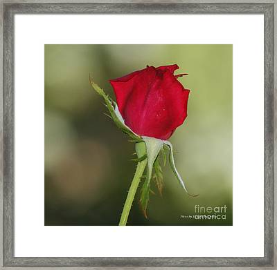 Framed Print featuring the photograph A Rose By Any Other Name by Debby Pueschel