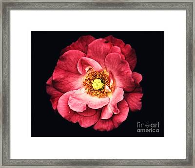 A Rose From The Shadows Framed Print