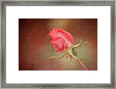 A Rose In The Rain Framed Print