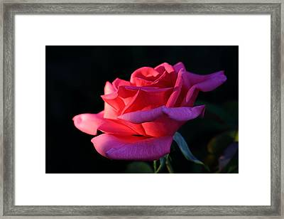 Framed Print featuring the photograph A Rose Is A Rose by David Andersen