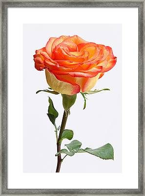 A Rose Is A Rose Is A Rose Framed Print by Juergen Roth