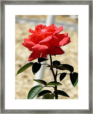 A Rose With Leaves Framed Print by Zina Stromberg