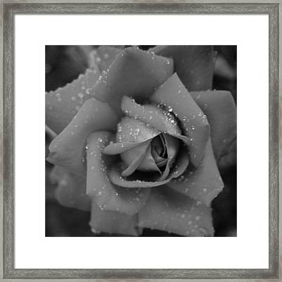 A Rose Without Its Dress Of Colour  Framed Print