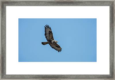 A Rough-legged Hawk (buteo Lagopus Framed Print