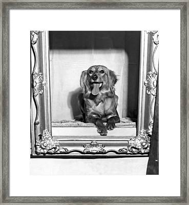 A Saluki At The Golden Gate Kennel Club Show Framed Print by Underwood Archives