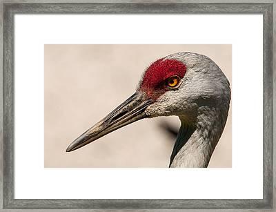 A Sandhill Crane Portrait Framed Print