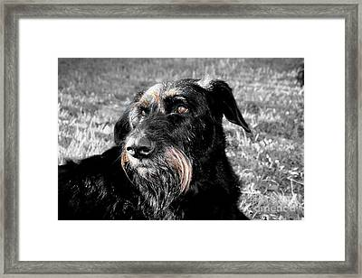 A Schnauzer's Plea  Framed Print by Jo Collins