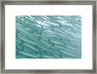 A School Of Barracudas Swimming Framed Print by Keith Levit