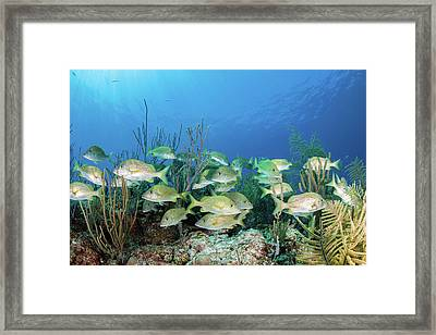 A School Of Fish, Grand Bahama, Bahamas Framed Print
