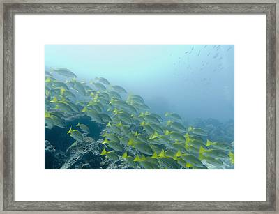 A School Of Fish Swimming Underwater Framed Print by Keith Levit