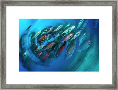 A School Of Pinjalo Snappers Framed Print