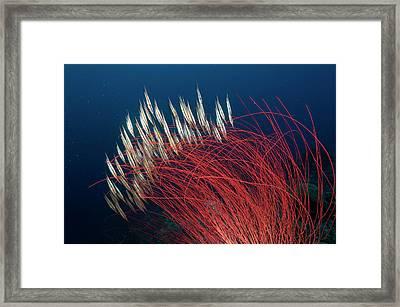 A School Of Razorfish Swim For Cover Framed Print by David Doubilet