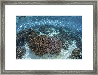 A School Of Silversides Swim Framed Print