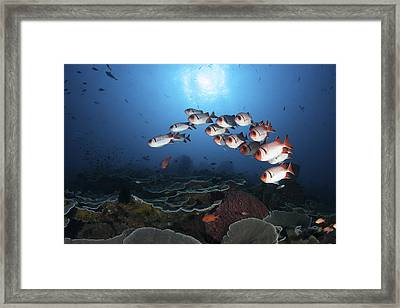 A School Of Soldierfish Hover Framed Print