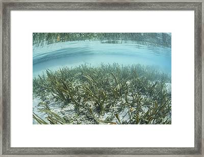 A Sea Grass Meadow Grows In The Shallow Framed Print