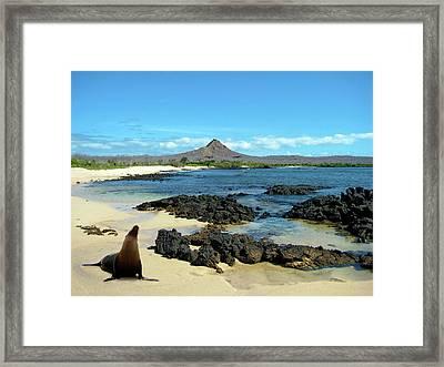 A Sea Lion (eumetopias Jubatus Framed Print