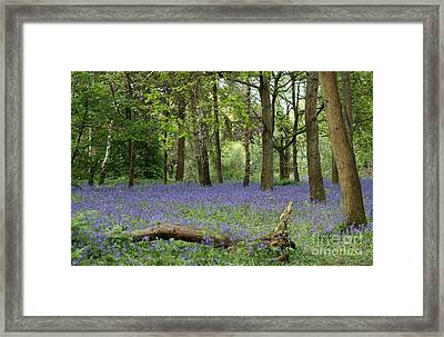 A Sea Of Bluebells Framed Print