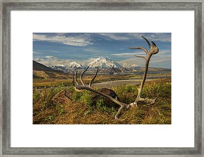 A Set Of Caribou Antlers At The Eielson Framed Print