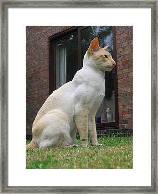 A Siamese Cat Framed Print by Alex Mills