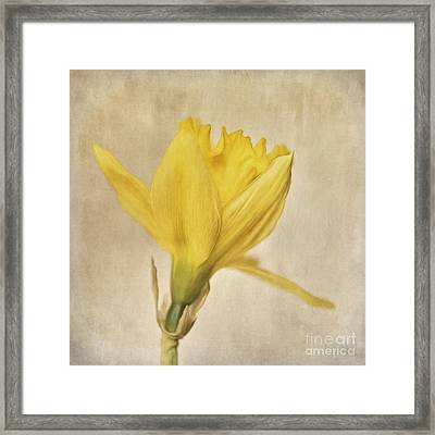 A Simple Daffodil Framed Print