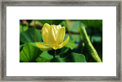 A Single Lotus Bloom Framed Print by Bruce Bley