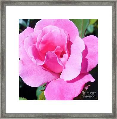 A Single Pink Rose Framed Print by Eloise Schneider