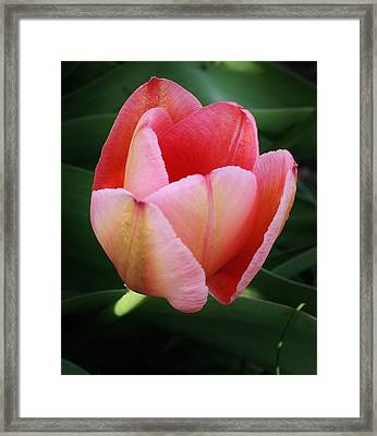 A Single Pink Tulip Framed Print by Bruce Bley
