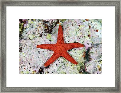 A Small, Red Starfish Clings Framed Print by Ethan Daniels