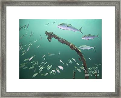 A Small School Of Greater Amberjack Framed Print by Michael Wood
