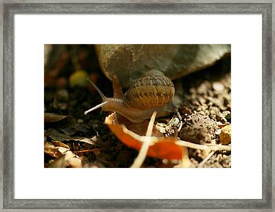 A Snail On The Move Framed Print by Jeff Swan