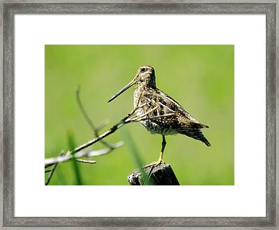 A Snipe  Framed Print by Jeff Swan