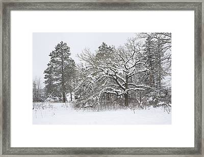 A Snowy Oak Tree Framed Print by Tim Grams