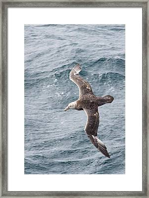 A Southern Giant Petrel Framed Print by Ashley Cooper